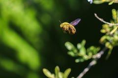 Manosee la abeja que vuela el tiro de la macro de la vista lateral Foto de archivo