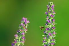 Manosee la abeja que vuela a la flor Fotos de archivo