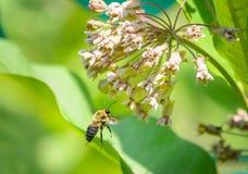 Manosee la abeja que vuela a la flor del milkweed Imágenes de archivo libres de regalías