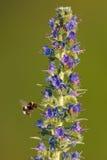 Manosee la abeja que vuela a la flor Fotografía de archivo