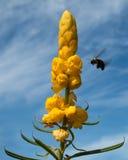 Manosee la abeja que vuela para amarillear las flores con contra el cielo nublado azul Fotografía de archivo libre de regalías