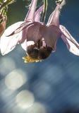Manosee la abeja que vuela para florecer Foto de archivo libre de regalías