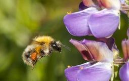 Manosee la abeja que vuela para florecer Fotos de archivo libres de regalías