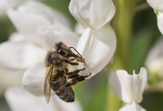 Manosee la abeja que vuela para florecer Fotografía de archivo libre de regalías