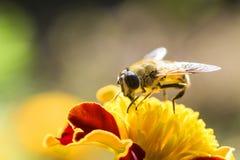 Manosee la abeja que vuela para florecer Imágenes de archivo libres de regalías