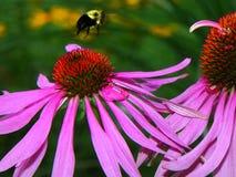 Manosee la abeja que vuela sobre los brotes rosados del coneflower del Echinacea Imagenes de archivo