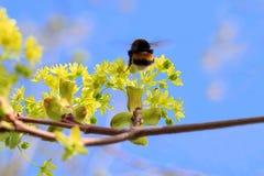 Manosee la abeja que vuela a una rama verde de un arce ceniza-con hojas Foto de archivo libre de regalías