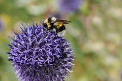 Manosee la abeja recoge el néctar de la flor púrpura Fotografía de archivo libre de regalías