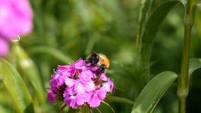 Manosee la abeja recoge el néctar en la flor rosada metrajes