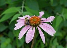 Manosee la abeja recoge el polen en una flor del cono Fotografía de archivo libre de regalías