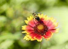 Manosee la abeja saca de una flor roja y amarilla Imagen de archivo libre de regalías
