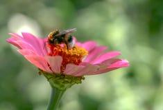 Manosee la abeja se está sentando en una flor rosada Imagen de archivo libre de regalías
