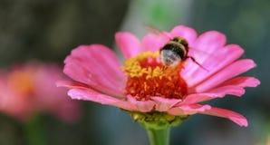 Manosee la abeja se está sentando en una flor rosada Fotografía de archivo