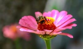Manosee la abeja se está sentando en una flor rosada Fotos de archivo