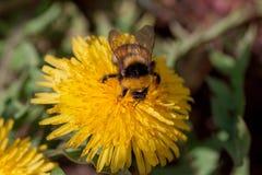 Manosee la abeja se sienta en una flor del diente de león Imagen de archivo