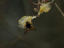 Manosee la abeja, SP del Bombus Recogida de Nectar On Willow Flower Foto de archivo libre de regalías