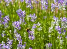 Manosee la abeja (terrestris del Bombus) en una flor de la lavanda Fotografía de archivo libre de regalías