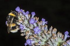 Manosee la abeja (terrestris del Bombus) que alimenta en una flor de la lavanda Imágenes de archivo libres de regalías