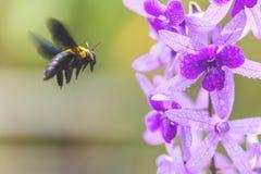 Manosee la abeja vuela a las flores púrpuras de la vid de la guirnalda Imagen de archivo