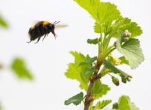 Manosee la abeja vuela para florecer Imagenes de archivo