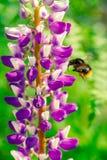 Manosee la abeja vuela a una flor Imágenes de archivo libres de regalías