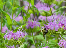 Manosee la abeja y la bergamota Imágenes de archivo libres de regalías