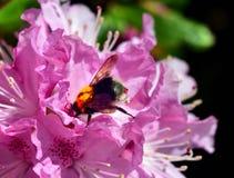 Manosee la abeja y el rododendro Imagen de archivo libre de regalías