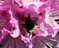 Manosee la abeja y el rododendro Imagen de archivo