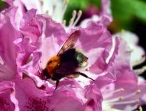 Manosee la abeja y el rododendro Imágenes de archivo libres de regalías