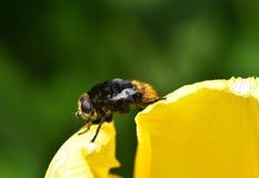 Manosee la abeja y el tulipán Imagenes de archivo