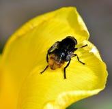 Manosee la abeja y el tulipán Fotos de archivo libres de regalías