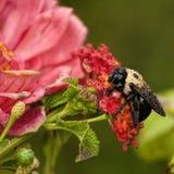 Manosee la abeja y el Zinnia rosado cubiertos con rocío imágenes de archivo libres de regalías