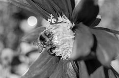 Manosee la abeja y la flor de la dalia Foto de archivo