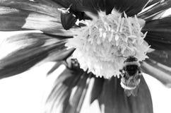 Manosee la abeja y la flor de la dalia Fotografía de archivo
