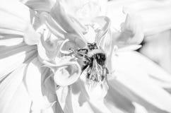 Manosee la abeja y la flor de la dalia Imagenes de archivo