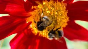 Manosee la abeja y la flor de la dalia Imagen de archivo