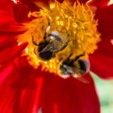 Manosee la abeja y la flor de la dalia Fotos de archivo