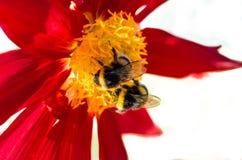Manosee la abeja y la flor de la dalia Fotos de archivo libres de regalías