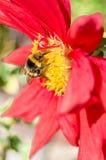 Manosee la abeja y la flor de la dalia Fotografía de archivo libre de regalías