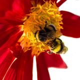 Manosee la abeja y la flor de la dalia Imágenes de archivo libres de regalías