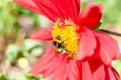 Manosee la abeja y la flor de la dalia Imagen de archivo libre de regalías
