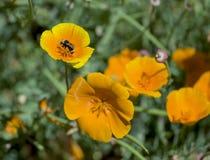 Manosee la abeja y la amapola Fotos de archivo libres de regalías