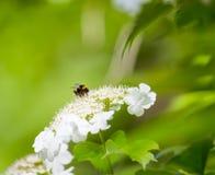 Manosee la abeja y la flor Fotografía de archivo libre de regalías