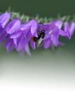 Manosee la abeja y la flor de campana Pequeñas flores violetas en el tronco Fondo blanco verde de la pendiente Profundidad del ca Fotografía de archivo