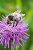 Manosee la abeja y la flor violeta Fondo suave verde Profundidad del campo baja, foco selectivo Imagen de archivo libre de regalías