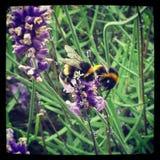 Manosee la abeja y la lavanda Foto de archivo