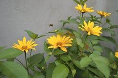 Manosee la abeja y la manzanilla Imagen de archivo libre de regalías