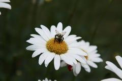 Manosee la abeja y la margarita blanca Fotos de archivo