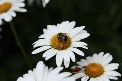 Manosee la abeja y la margarita blanca en el jardín Fotos de archivo