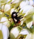 Manosee la abeja en las flores blancas por mañana soleada Fotos de archivo